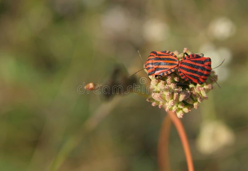 Mateing bugs royalty free stock photos