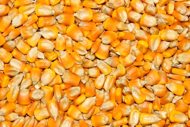 materiał siewny kukurydzy żółty obraz royalty free