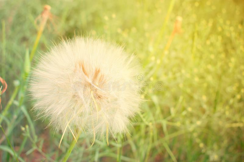 materiał siewny mlecz głowy Duży biały puszysty kostrzewiasty dandelion kwiatu cl zdjęcia stock