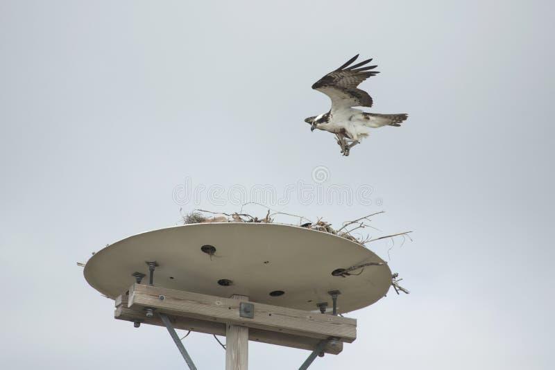 Material levando do assentamento da águia pescadora a seu ninho em Florida imagens de stock