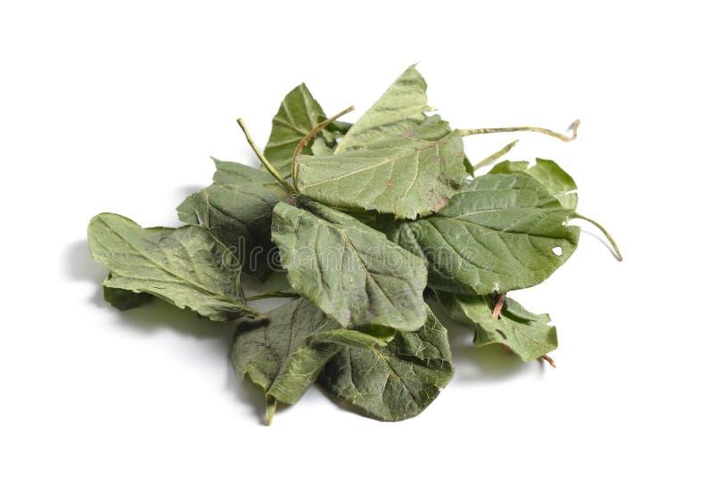 Materias primas secadas de las hierbas medicinales en blanco hojas de imagen de archivo libre de regalías