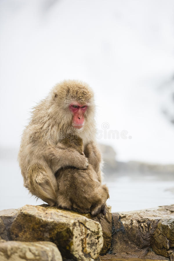 Maternal Wild Snow Monkey Mom Hugging Baby on Rocks. While a wild baby snow monkey cuddles and nurses on momma snow monkey on a rocky ledge in front of steam stock photo