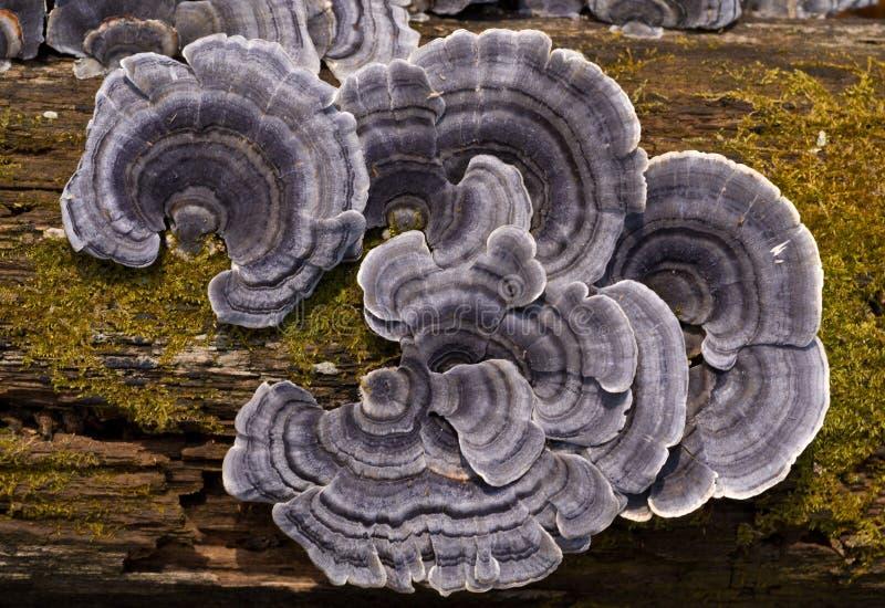 Matière inflammable 4 de champignons de couche image stock