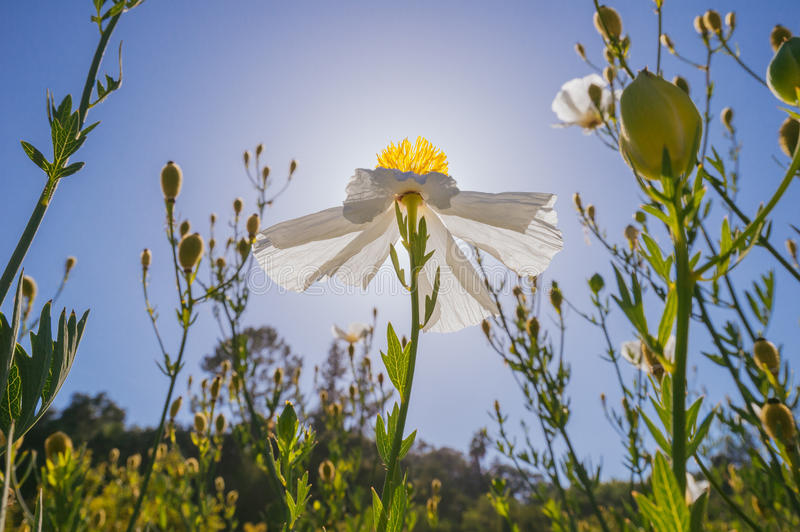 Matilija poppy backlit by the sun, Southern California stock photo