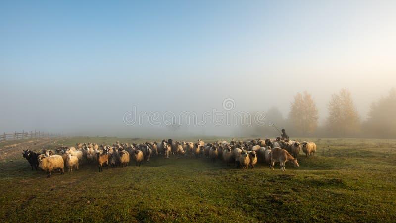 Matin brumeux en Roumanie à la ferme avec les moutons et le berger photo libre de droits