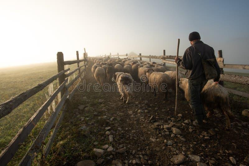 Matin brumeux en Roumanie à la ferme avec les moutons et le berger photos libres de droits