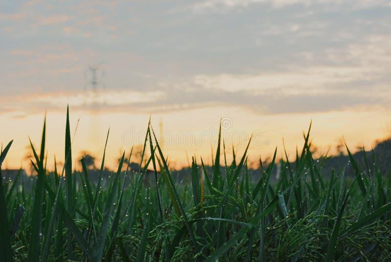matin dans des domaines de riz photographie stock libre de droits