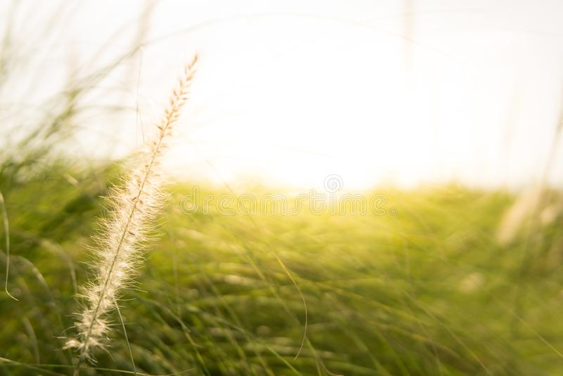 Matin de fleur d'herbe photo stock