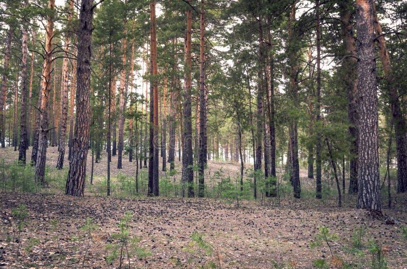 Matin de ressort dans Pinewood regardant vers le haut avec un bon nombre des troncs et de Sunny Highlights d'arbre verticaux Fond photos stock
