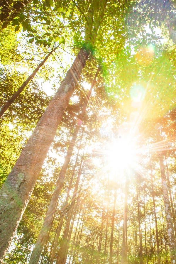 Matin ensoleill? dans les plantations tropicales de sylviculture en ?t?, rayon lumineux de rayon de soleil brillant par les branc photographie stock