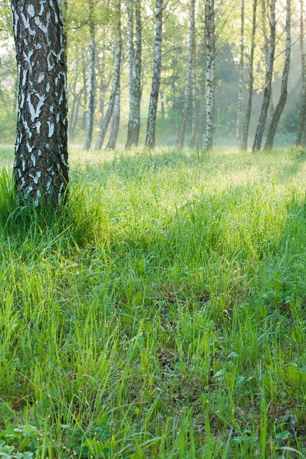 Matin lumineux de source dans une forêt de bouleau photos libres de droits