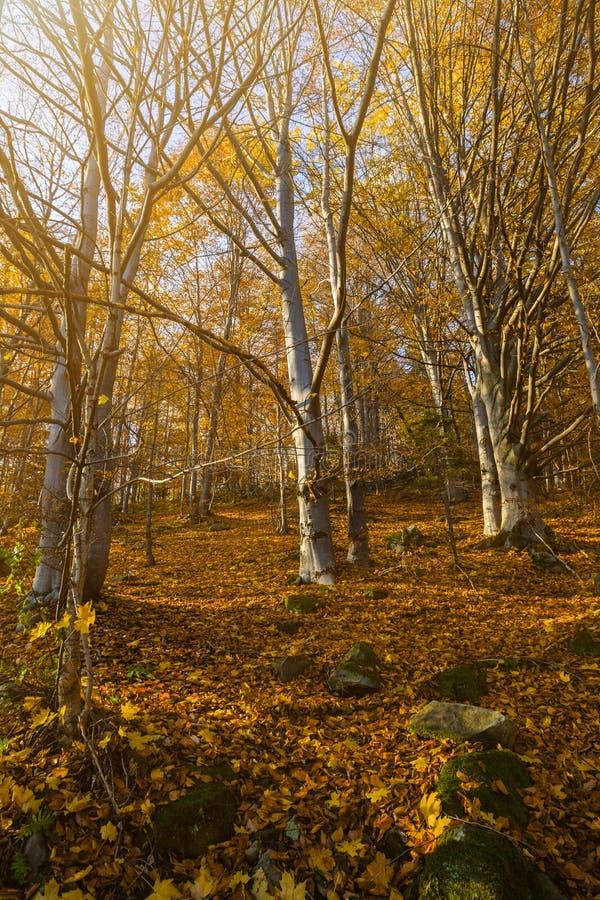 Matin romantique dans la forêt de montagne de l'arbre de hêtre MOR tôt photo stock