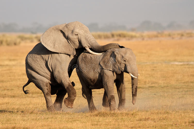 Mating African elephants stock images