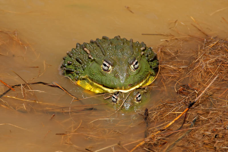 Mating African giant bullfrogs stock images