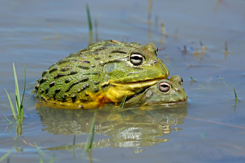 Mating African giant bullfrogs royalty free stock photos