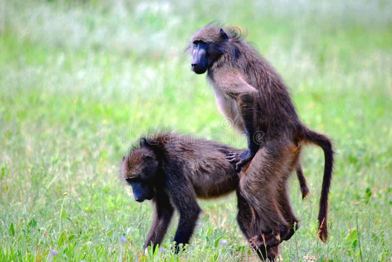 Mating Baboons. Image of a pair of mating baboons royalty free stock images