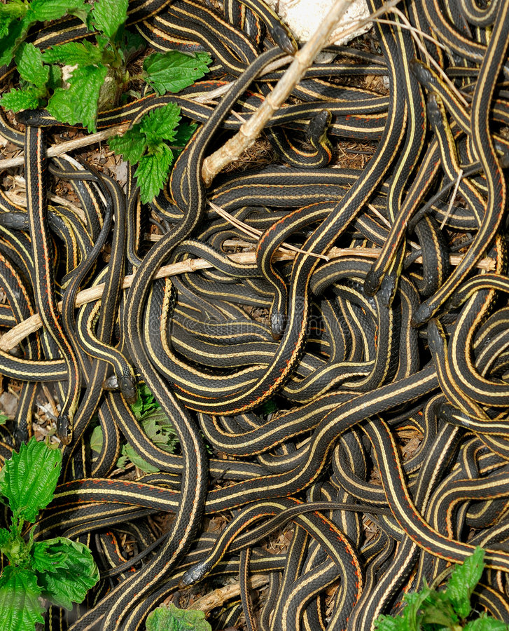 Mating Ball of Garter Snakes. Narcisse, Manitoba, Canada: Every spring thousands of Red Sided Garter Snakes (thamnophis sirtalis parietalis) emerge from stock photo