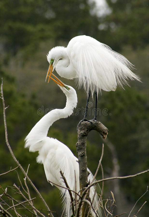 Mating behavior of two egrets in Georgia. Two great white egrets with bills open showing mating behavior in a nest at a rookery in Harris Neck National Wildlife royalty free stock photo