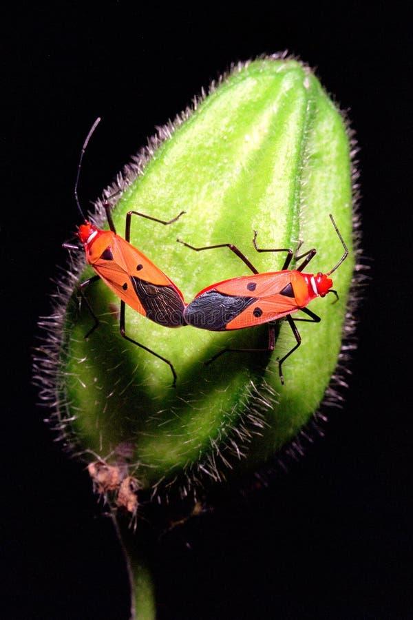 Download Mating bugs stock image. Image of vivid, wild, dark, mating - 1255869