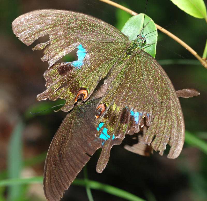 Download Mating Butterflies Stock Image - Image: 10826151