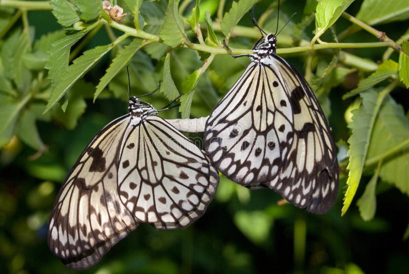 Download Mating Butterflies Stock Images - Image: 12070204