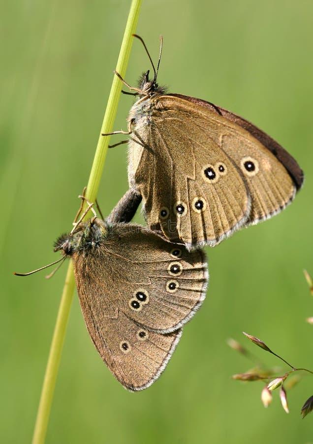 Mating butterflies stock photography