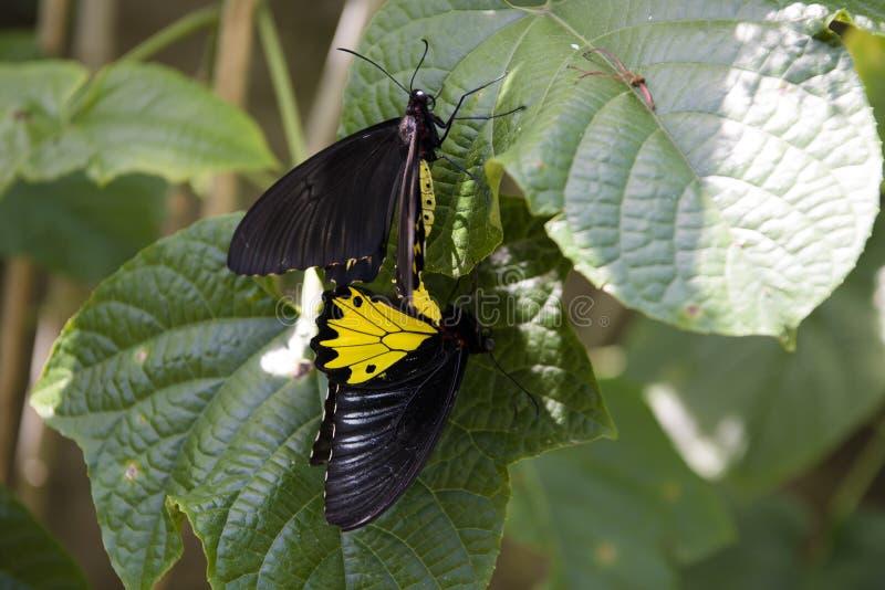 Mating butterflies. Mating of yellow and black butterflies stock photos