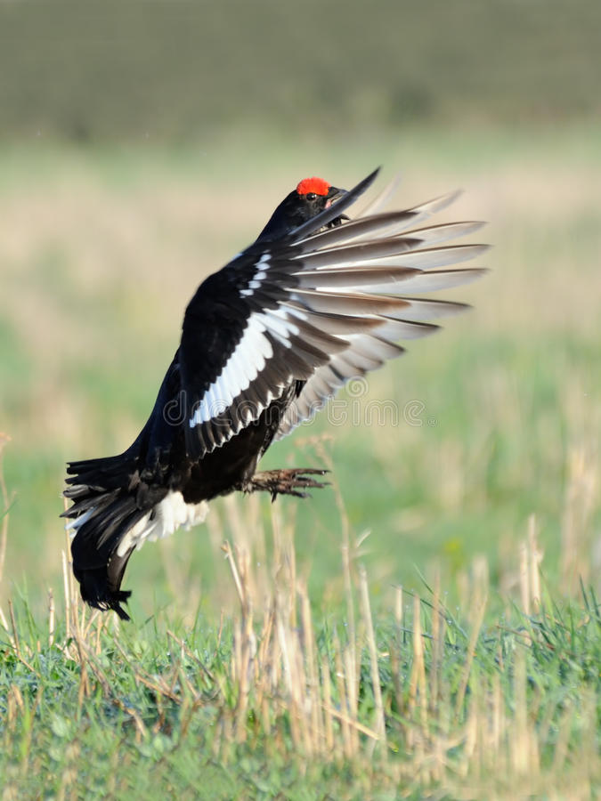 Mating call of flying male Black grouse royalty free stock photos