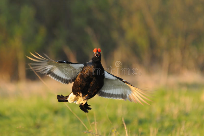 Mating call of jumping male Black grouse royalty free stock photos