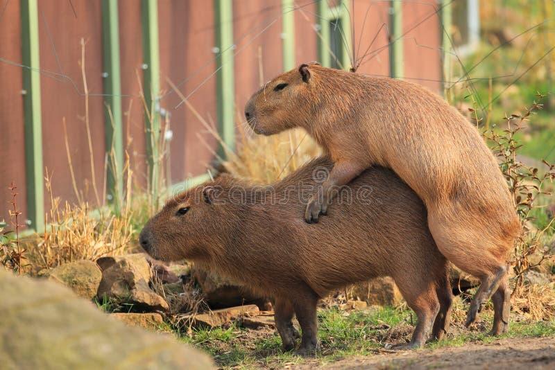 Mating capybaras. The couple of mating capybaras stock photo