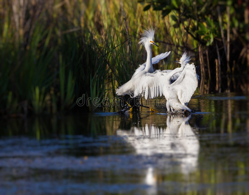 Mating cattle egrets royalty free stock photo