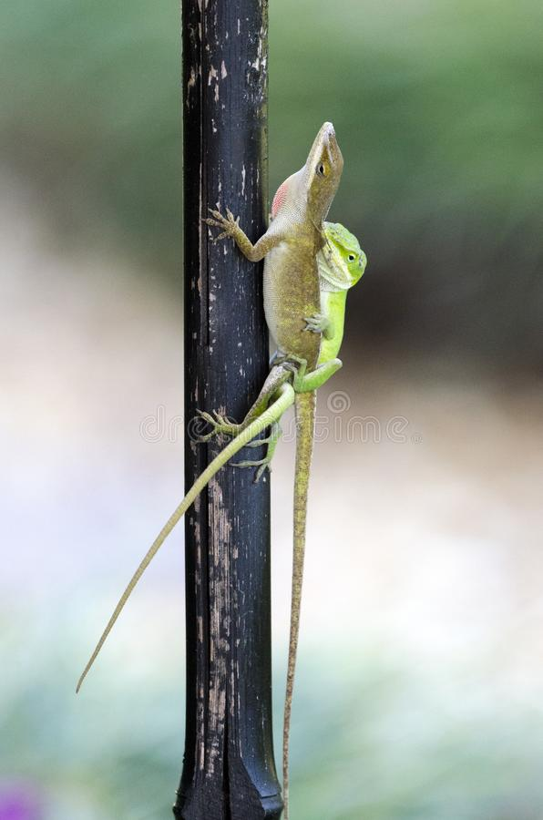 Mating Chameleon Green Anole Lizards, Georgia USA royalty free stock image