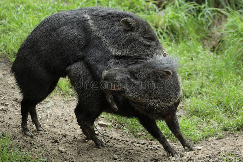 Mating collared peccaries royalty free stock image