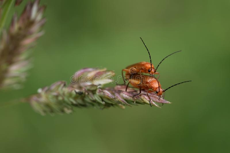 Mating of common red soldier beetles royalty free stock photo