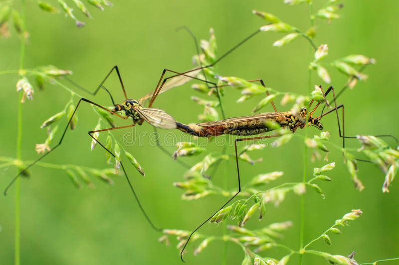Mating crane fly royalty free stock image