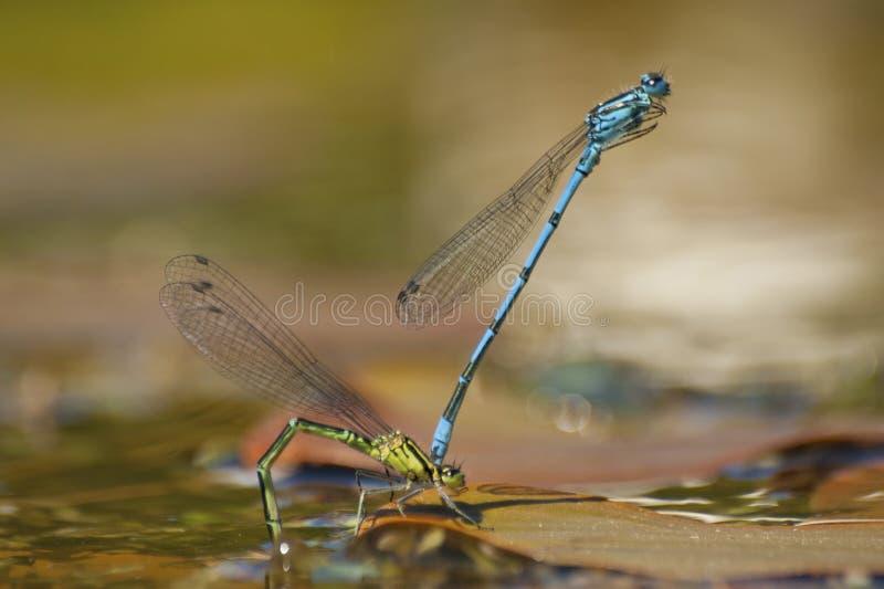 Mating Damselflies. Common Blue Damselflies mating, Leeds, UK stock photo