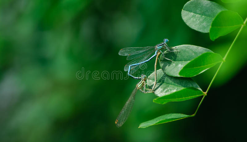 Mating dragonflies stock image