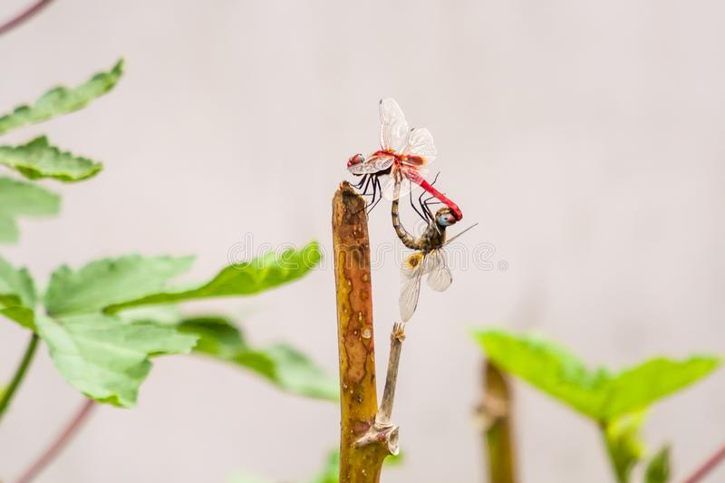 Mating of dragonflies in nature. Mating of dragonflies on a stick nature royalty free stock photography
