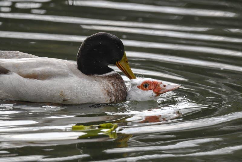 Mating ducks at lake stock photography