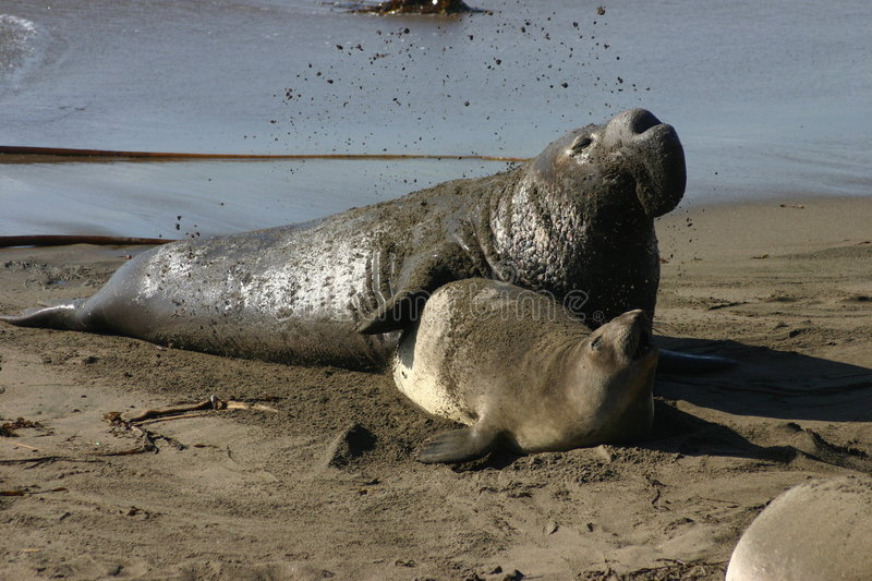 Mating Elephant Seal stock photo