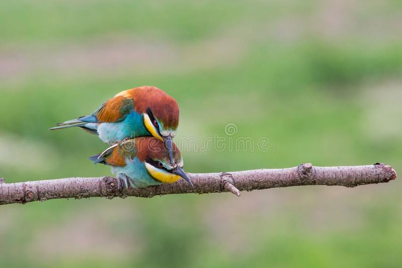 Mating european bee-eaters, Italy. Mating european bee-eaters (Merops apiaster), Italy stock image