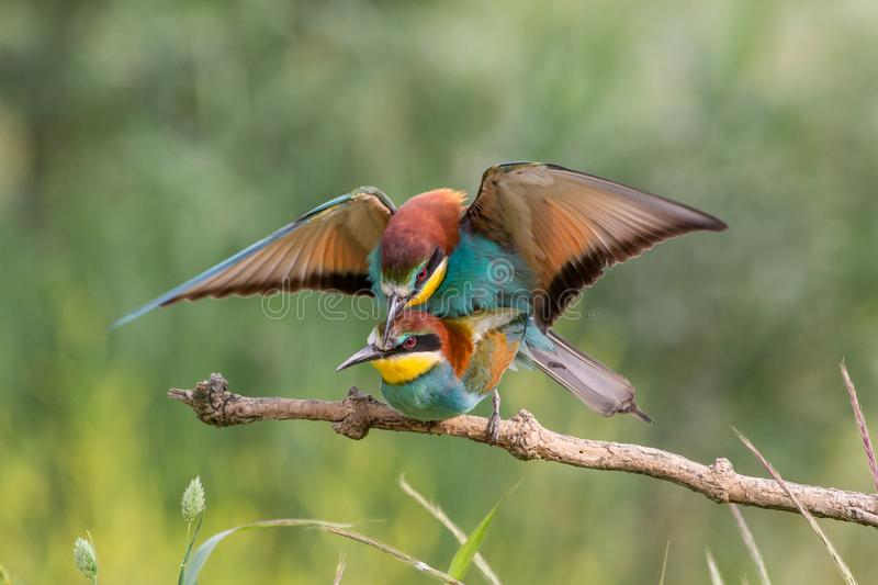 Mating european bee-eaters, Italy. Mating european bee-eaters (Merops apiaster), Italy stock images