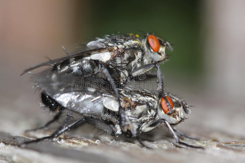 Mating flies. The pair of mating of camouflaged flesh flies royalty free stock image