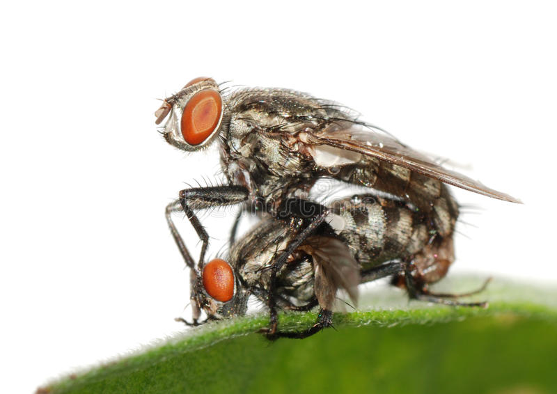 Mating fly insect isolated royalty free stock image