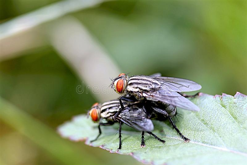 Mating fly on top of leaf. It is life, mating the insect flies on the top of leaf when morning coming, this macro photograph taken from back yard stock images