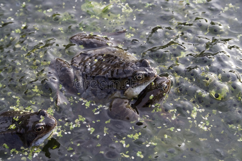 Mating frogs royalty free stock photos