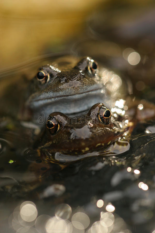 Free Mating Frogs In The Water Royalty Free Stock Photography - 18499797