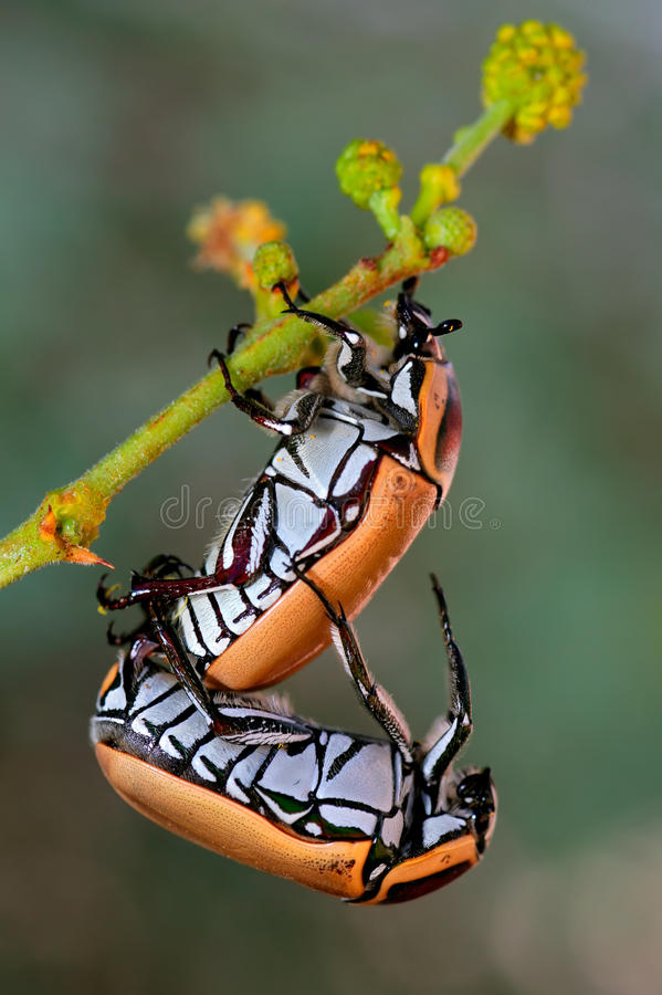 Mating fruit chafer beetles stock photography