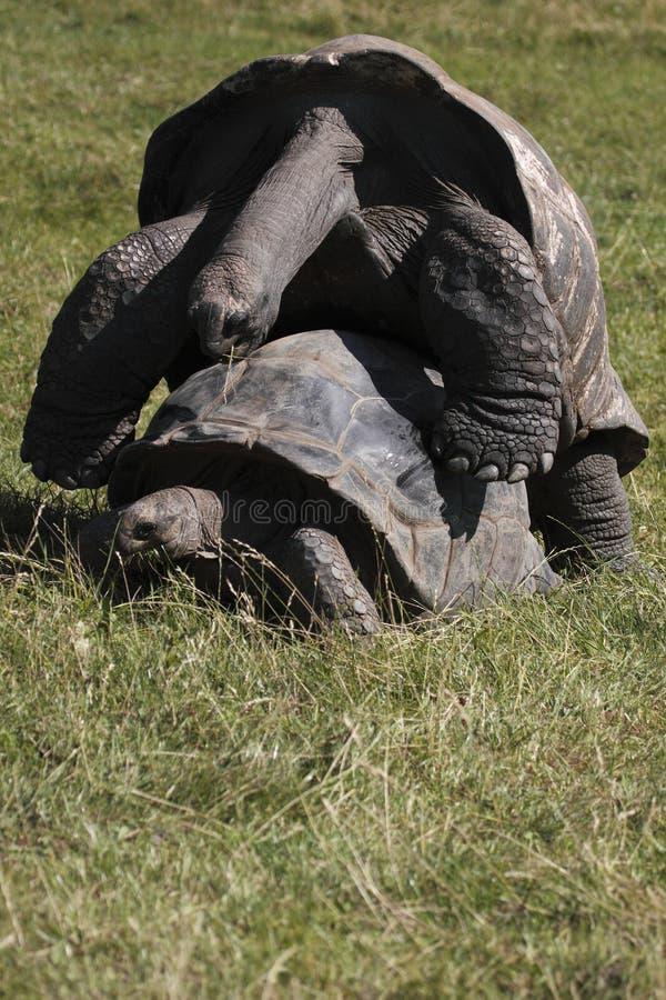 Mating galapagos tortoises royalty free stock photos