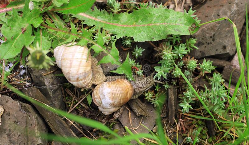 Mating of garden snails. Scene of small wild life royalty free stock photos